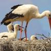 Las cigüeñas acortan su migración por la basura y los cultivos humanos