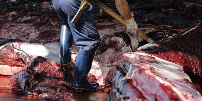 Japón cumple su desafío internacional con la caza de más de 330 ballenas en tres meses