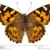 La mariposa capaz de hacer una migración de 4.000 km