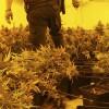 Intervenidas cuatro mil plantas de marihuana en Peligros, Atarfe y Valderrubio