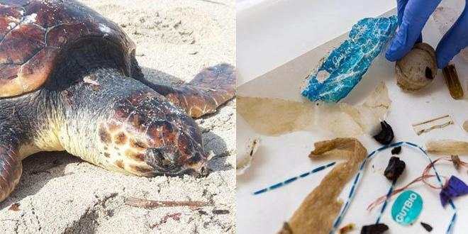 Tampones, bolsas, preservativos, colillas, la dieta letal de las tortugas del Mediterráneo