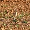 El corredor sahariano, un ave del desierto, cría en Granada por primera vez
