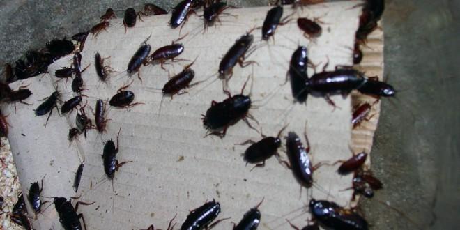 Advierten de que este verano hay un riesgo «muy alto» de una plaga de cucarachas