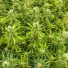 6 preguntas que surgen cuando hablamos de legalizar la marihuana