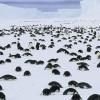 Murieron miles de crías pingüino emperador en la Antártida porque se derritió su hábitat