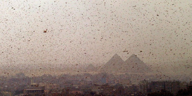 Egipto enfrenta una invasión de langostas