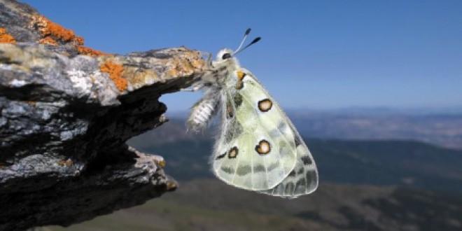 Sierra Nevada utiliza las mariposas como indicadores de los efectos del cambio climático en las especies