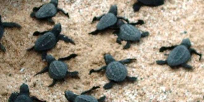 Nacen en Brasil casi cien tortugas en peligro de extinción debido a la cuarentena