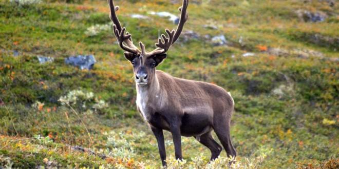 El reno: un símbolo de la Navidad en declive