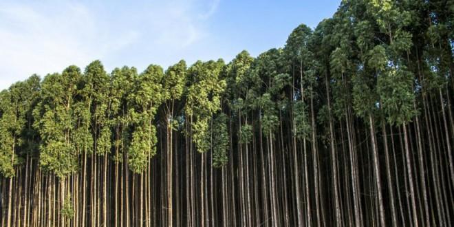 Utilizan la savia del eucalipto para crear grafeno ecológico 200 veces más barato