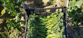 El cultivo del bimi empieza a cubrir el hueco que ha dejado el tabaco en la Vega de Granada