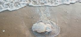 ¿Hay hoy medusas en la playa? La app andaluza que detecta la presencia de estos invertebrados marinos